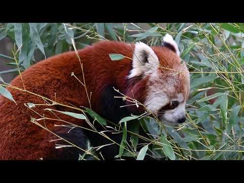 Red panda (Ailurus fulgens) eating bamboo leaves. Native to the Himalayas