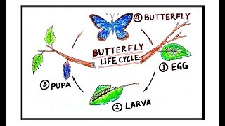 How To Draw Butterfly Life Cycle Metamorphosis For School