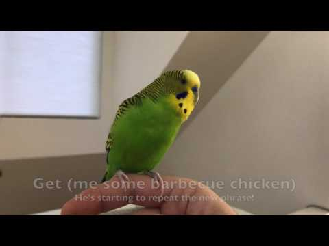 Kiwi the Talking Budgie is finally learning his new phrase!
