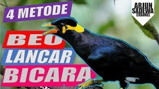 Agar burung beo bisa bicara lancar dan fasih | dengan 4 metode 2019