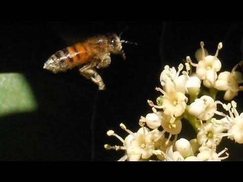 Plants for Honey Bees and Pollinators: Bee Friendly Ligustrum