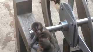 Baby Monkey On 8/14/2015 At Asahiyama Zoo No.4.
