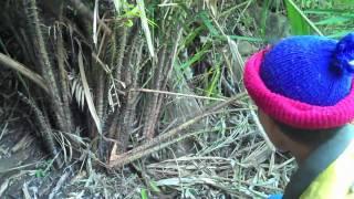 Palaung Agroforest Rattan Harvest