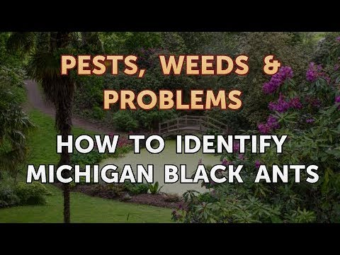 How to Identify Michigan Black Ants