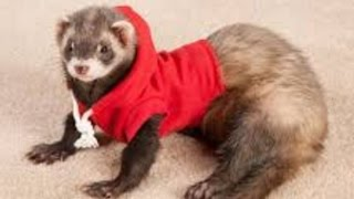 Ferret - A Funny Ferret And Cute Ferret Videos Compilation || NEW HD