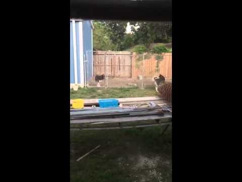Husky upping 6 feet fence