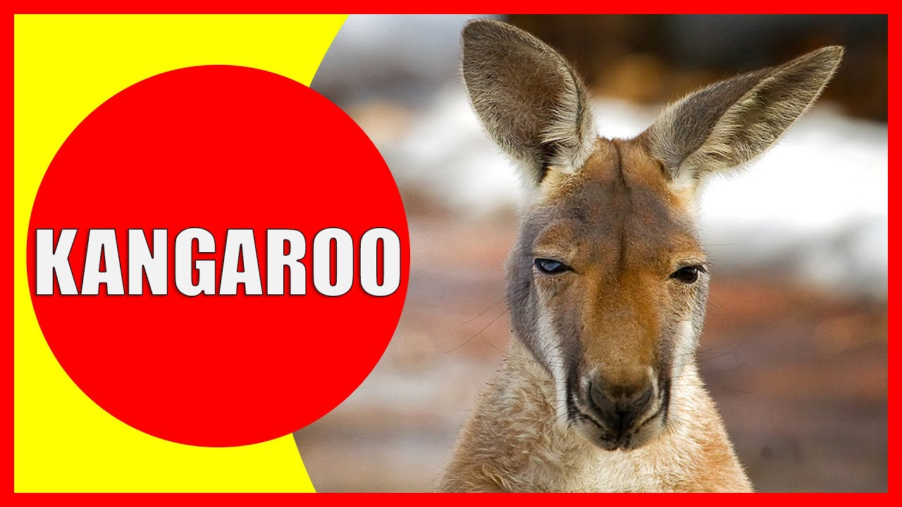 Kangaroo for Kids - Facts and Information about Kangaroos for Children, Kangaroo Videos | Kiddopedia