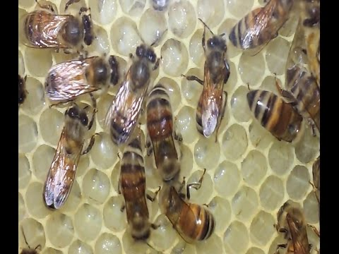 Honey Bees Building Comb And Festooning Explained