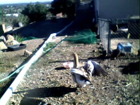 My pet American Buff Goose trying to fly