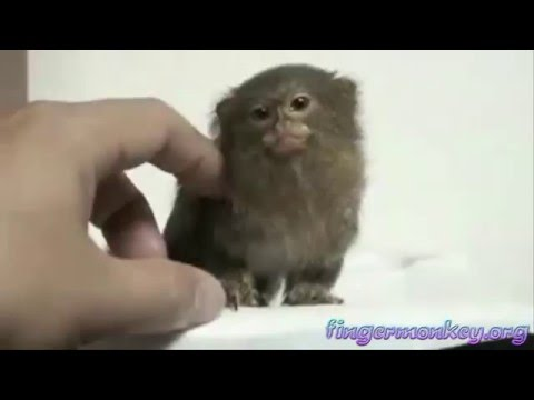 Finger Monkey: Worlds Smallest Monkeys
