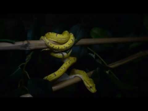 Green Tree Python Feeding