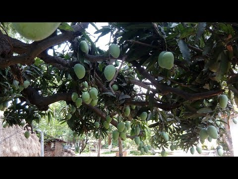 Mango Plant || How to Grow and Care a Mango Plant || Budget Gardening || (Hindi)