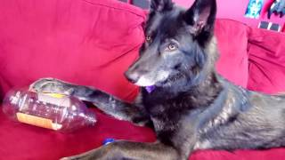 Wolfdog vs Snapple Bottle