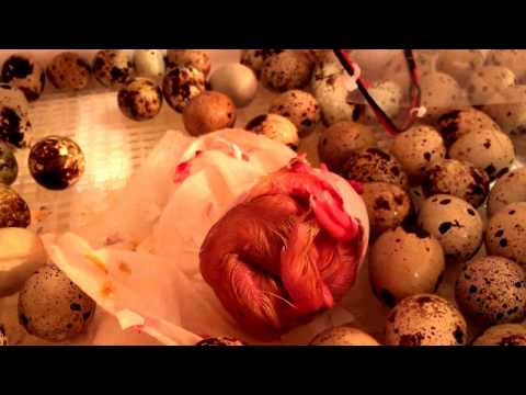 Saving late hatching duckling pt1