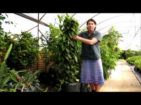 Vanilla Vine Orchid - How to Grow in a Pot and Keep Dwarfed