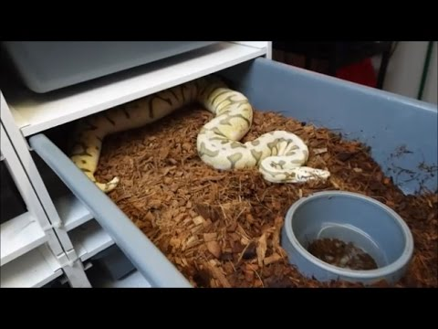 Ball python breeding.  All about the 💰.  Or are we???