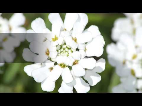 Facts about Candytuft