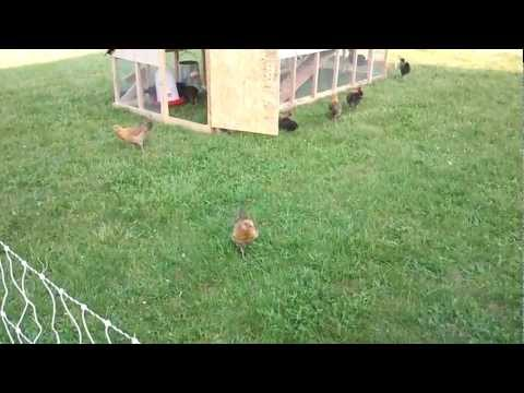 Chicken Tractor and Electric Poultry Net