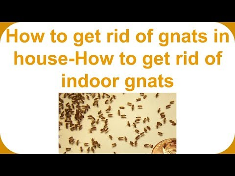 How to get rid of gnats in house-How to get rid of indoor gnats