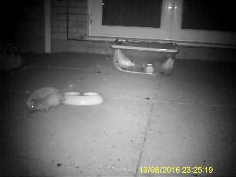 Pregnant hedgehog in garden