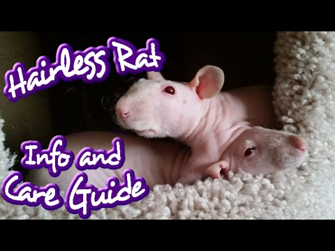 All Things HAIRLESS Rats (Nakie info & care)