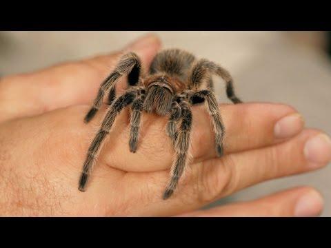 How to Tell If a Tarantula Is Male | Pet Tarantulas
