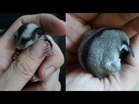 Baby Gender Revealed | Sugar Glider