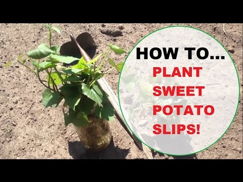 HOW TO: Plant Sweet Potato Slips