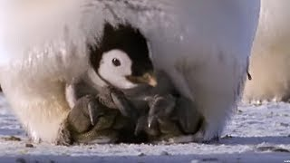 Emperor penguins | The Greatest Wildlife Show on Earth | BBC