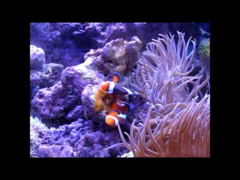 Clown fish laying eggs