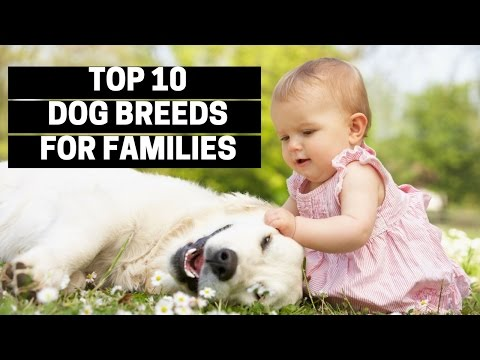 TOP 10 DOGS FOR FAMILIES - Best Puppy Breed For Children
