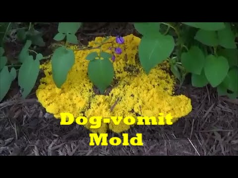 Dog Vomit Mold