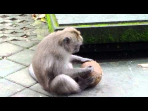 An Ubud Monkey Cracking A Coconut Shell