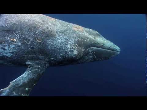 Sick Humpback - Hungry Tiger Sharks