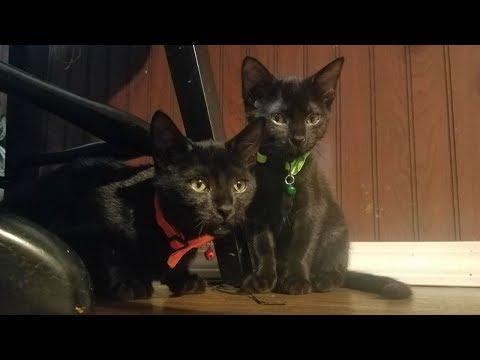 kitty cats playing 🐱🐱 gatitos jugando