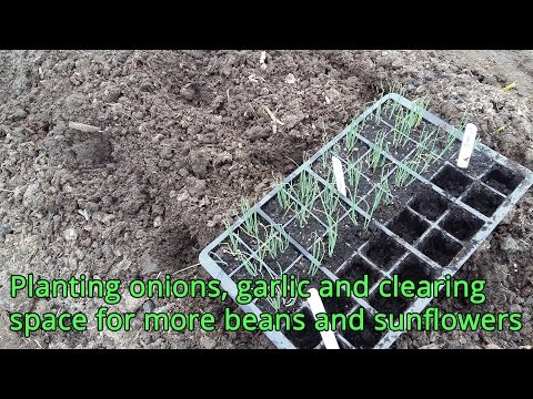 Planting onions, garlic and clearing space for more beans and sunflowers