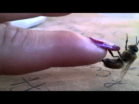Handling a hurt bee