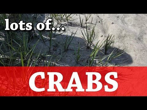 Lots of Crabs - Thousands of fiddler crabs!!! - BAIT