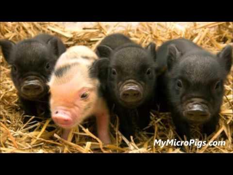 Micro Pigs Arizona