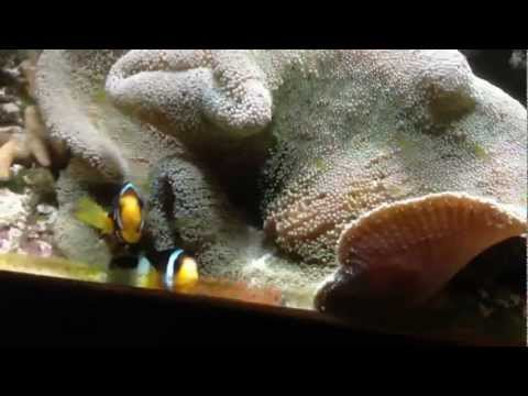 Clown Fish Spawning, Laying Eggs. Close Up!!