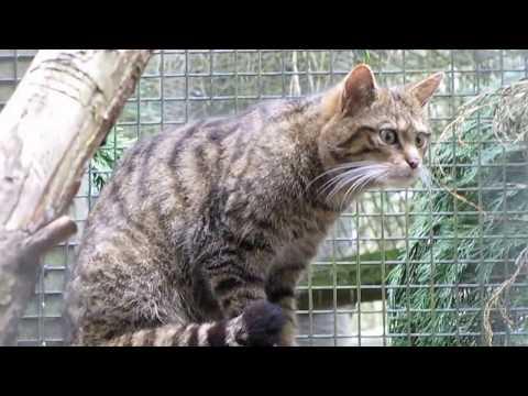 Scottish Wild Cat