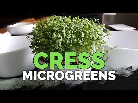 How to Grow Cress Microgreens Fast and Easy