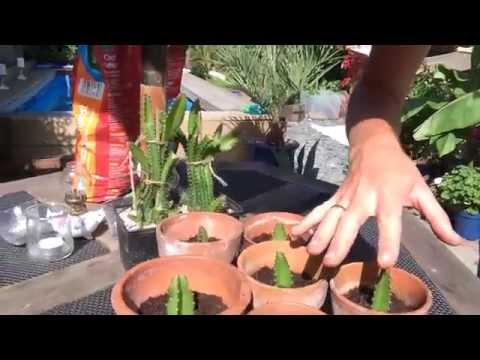 Growing Dragon Fruit (Pitaya) in UK