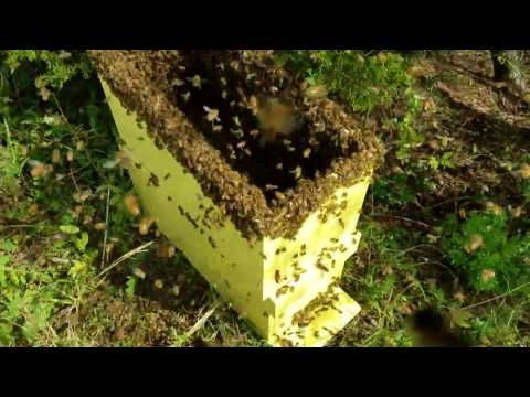 How to catch a swarm of honey bees fast