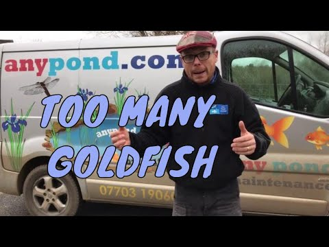 Too many goldfish in my pond - UK Pond Fish Video