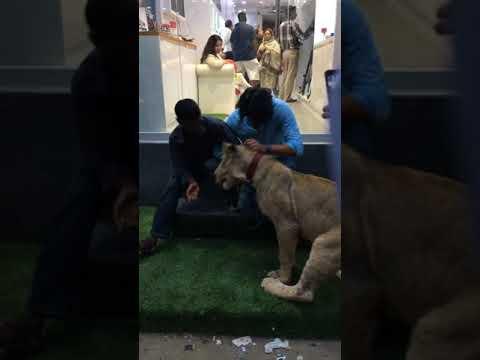 Simba Lion in Karachi