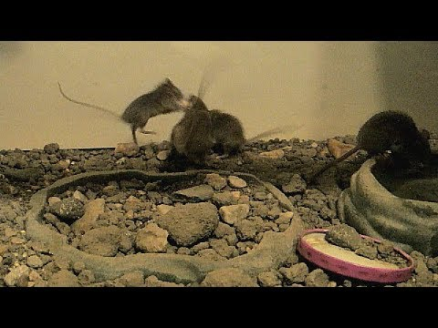 Wild Mice As Pets: Togetherness Until There's Little Food...Crazy!!!