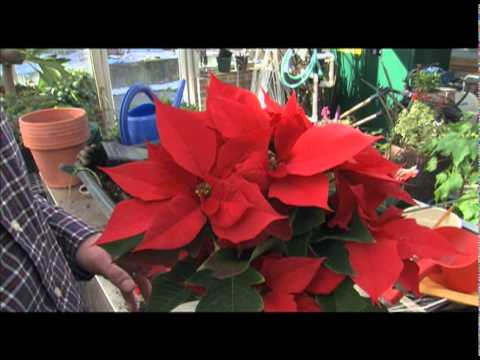 How to Get Poinsettias to Bloom