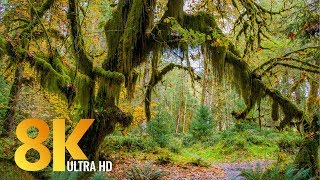 8K Rainforest Walk with Nature Sounds - Hall of Mosses Trail and Spruce Nature Trail