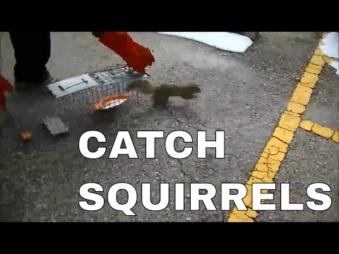 Catch Squirrel and Release | Easy Squirrel Trap